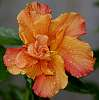 Rain on an Orange Hibiscus............