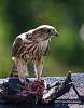 Mealtime for a Merlin