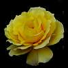 First Yellow Rose of Spring.......