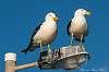 Gulls at Tumby Bay SA