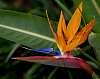 Bird of Paradise.......