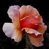 Salmon Pink Rose...........