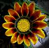 Another Gazania Bloom.......