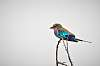 Birds of the Olifants River: Lilac-breasted Roller