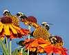 Last bumblebees