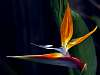 Bird of Paradise bloom..........