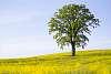 Rapeseed-Tree