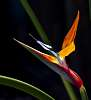 Another Bird of Paradise..........