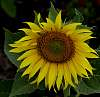 Opening Sunflower...................