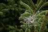 Hoarfrost on the Christmas Tree