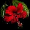 Super Red Hibiscus.............