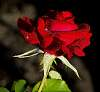 Small Red Rose with...............