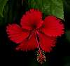 The Red Hibiscus.............