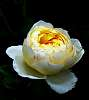 Tightly packed petals...............