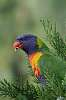 lorikeets in the yard