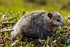 Daytime Opossum