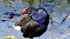 Purple Swamphen (and others)