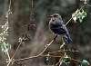 Visiting Bluebird