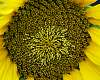 Sunflower centre..............