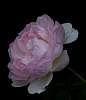 Emerging Pink................