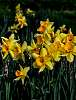 Some Daffodils