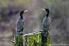 Cormorants Communing