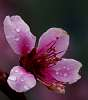 The humble Peach Blossom.......