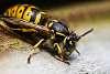 macro wasp