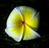 Fallen Blossom............