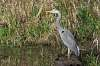 Great Blue Herons everywere !!