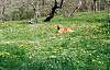 My dog lazing in the orchard