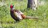 First Bird Shot - Pheasant on a Sunny Morning With Pixel Shift