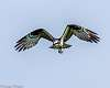 "Osprey in flight- including the ""impossible for Pentax"" Z axis shots"