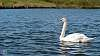 Swanning around...