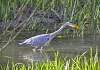 Second Bird - Wading Heron