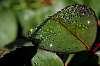 Dew on a Rose Leaf........