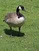Goose, Goose, Gosling