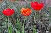 Spring. Three tulips.