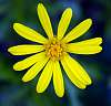 Small Yellow Daisy.........