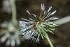 Unsuccessful dandelions