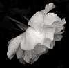 That White Rose.................