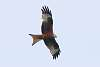 Red Kite over Canterbury Suburbs