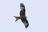 Red Kite over Canterbury Suburbs