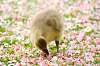 Greylag Gosling in Apple Blossom