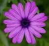 Purple Striped Daisy.............
