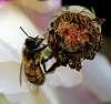 Feeding Bee.............