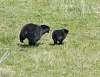 Mama Bear Chasing Her Cub