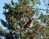 Eurasian Eagle owl  (lat: bubo bubo)
