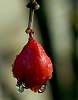 Another drop on a forming Pomegranate...........