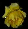 Another Yellow Rose for Susan.